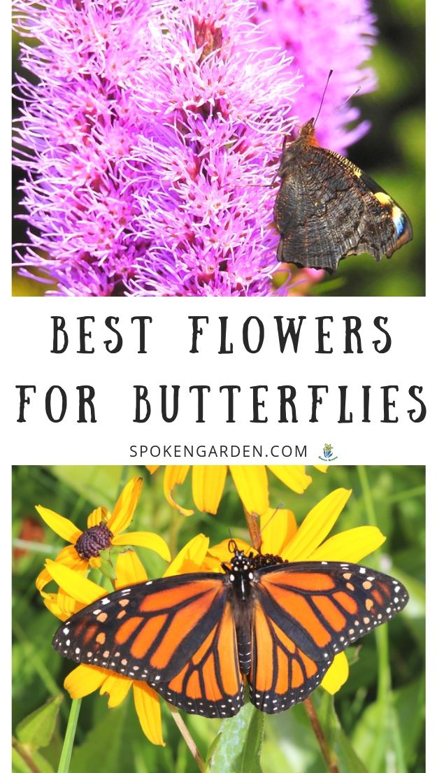 Liatris and Black-Eyed Susan with butterflies with text overlay in Spoken Garden's podcast advertisement