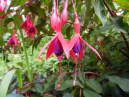 Foolproof Fuchsia Companion Plants – DIY Garden Minute Ep. 86