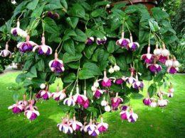 Fuchsia Hanging Basket: A Mini-Plant Profile – DIY Garden Minute Ep. 85