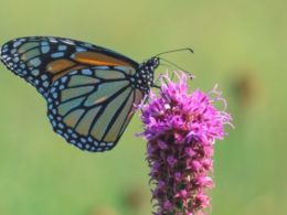 Attract Butterflies with Liatris spicata (A Butterfly Favorite) – DIY Garden Minute Ep. 84
