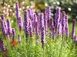 Liatris Spicata in Spoken Garden's DIY garden minute podcast