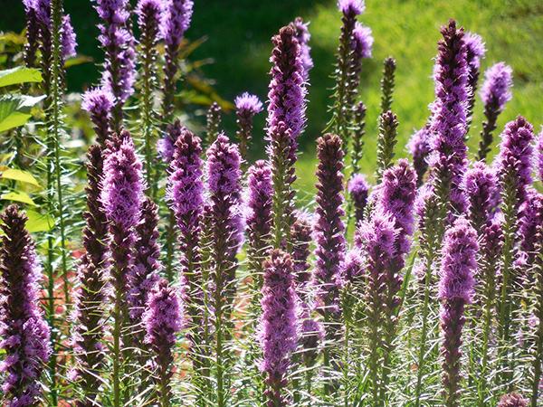Purple Liatris spicata flowers