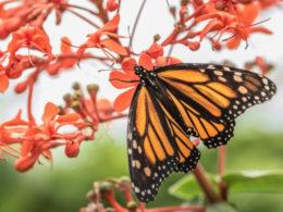 Ep. 35: Best Flowers For Attracting Butterflies to Your Garden