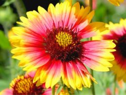 Blanket Flower: A Gardener's Guide and Plant Profile