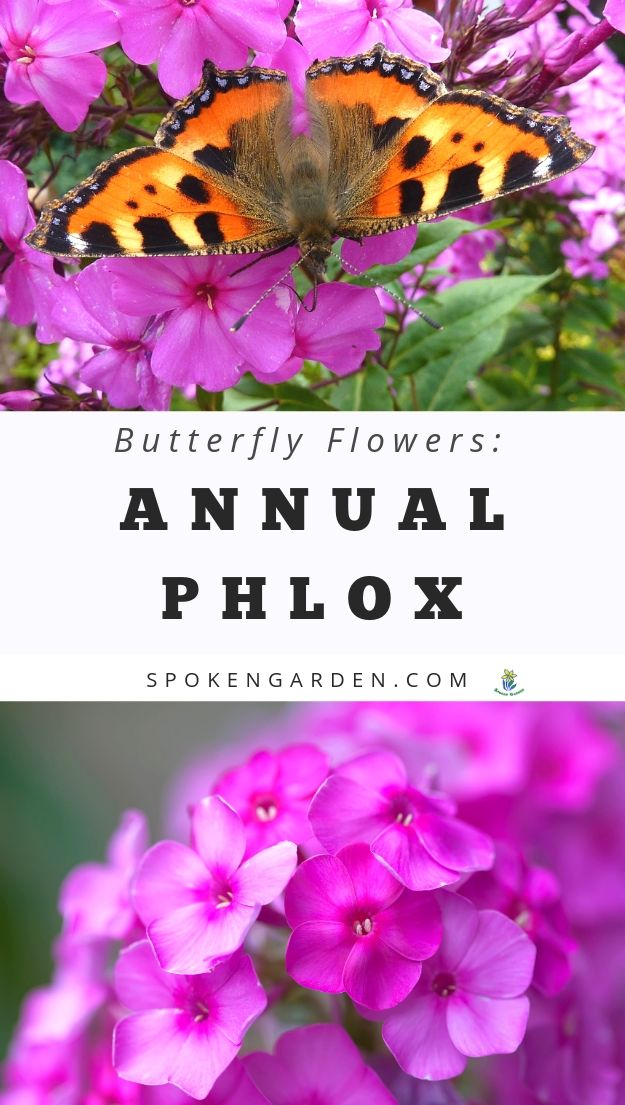 Magenta-colored annual phlox- a plant that attracts butterflies