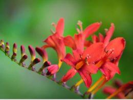 Crocosmia Care: A Mini Plant Profile – DIY Garden Minute Ep. 92