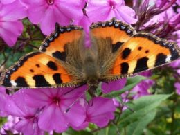 Plants That Attract Butterflies: Annual Phlox – DIY Garden Minute Ep. 89