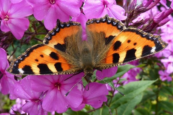 Phlox plant attracting butterflies