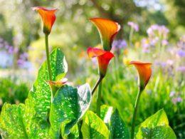 Calla Lily Companion Plants – DIY Garden Minute Ep. 91