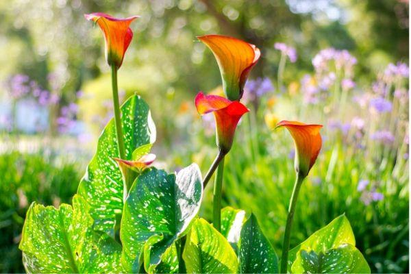 Calla Lily Companion Plants Diy Garden Minute Ep 91 Spoken Garden