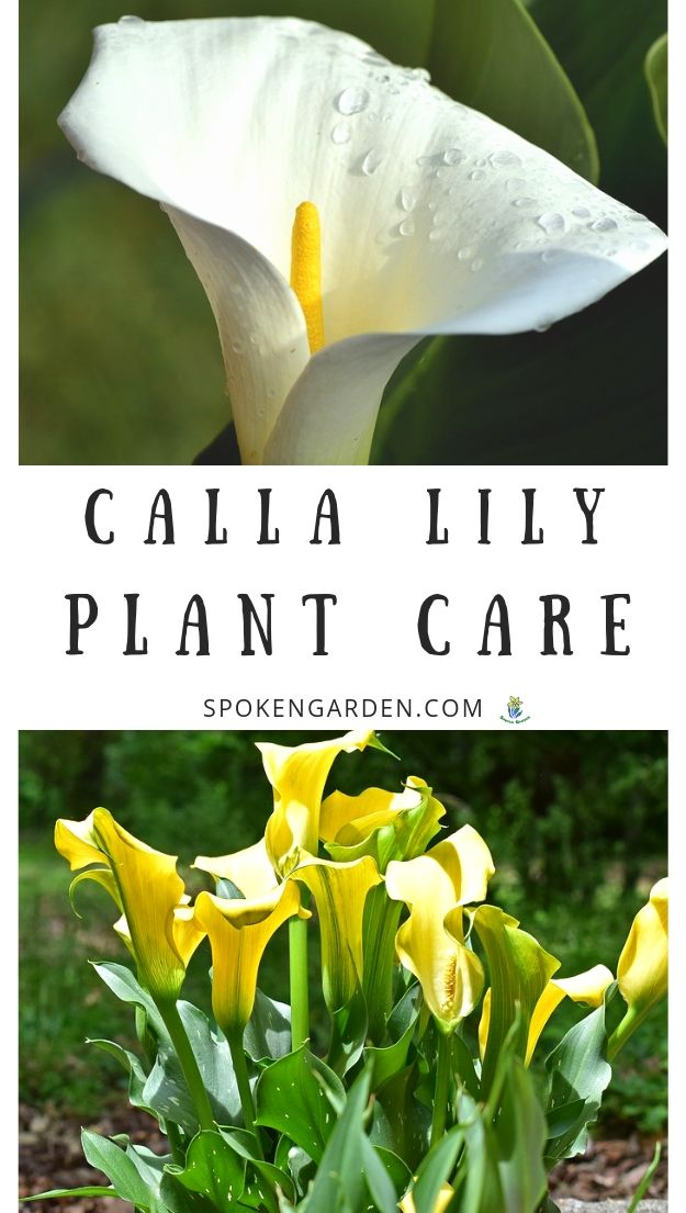 White and yellow Calla lilies and their care