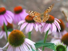Attract Butterflies to Your Garden With Purple Coneflower – DIY Garden Minute Ep. 87