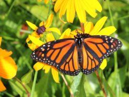 Butterfly Garden Flowers: Black-Eyed Susans  – DIY Garden Minute Ep. 88