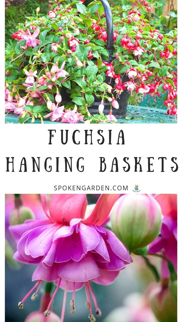 Pink, multi-colored Fuchsia hanging baskets in Spoken Garden's podcast advertisement