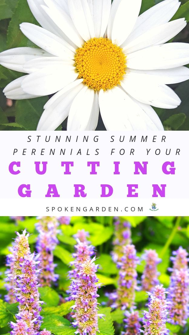 Shasta Daisy and Agastache for drought-tolerant gardens with text overlay