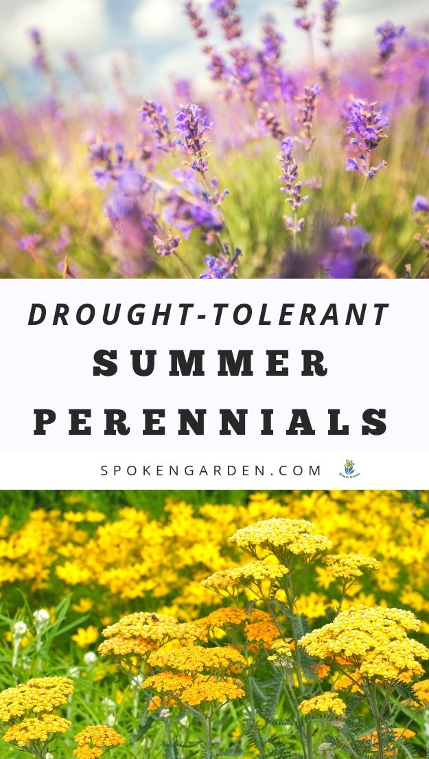 Lavender and Yarrow for drought-tolerant gardens with text overlay