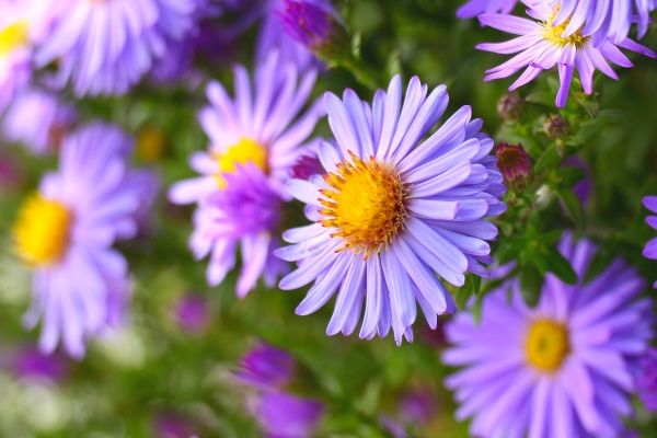 A picture of purple asters that need to be deadheaded with hand pruners