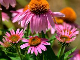 Coneflowers (Echinacea): A Gardener's Guide and Plant Profile