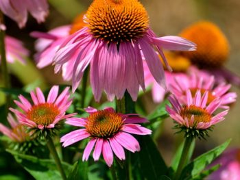 Coneflower plants (echinacea) in a garden.