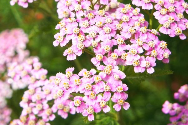 Pink yarrow, a drought-tolerant perennial
