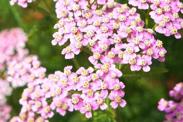 Pink yarrow, a drought-tolerant perennial