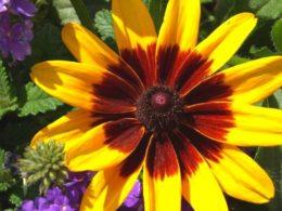 Full Sun Perennials That Bloom All Summer – DIY Garden Minute Ep. 95