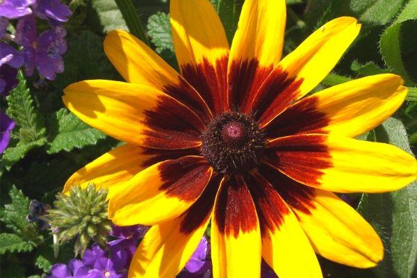 Black-eyed susan, a full sun perennial