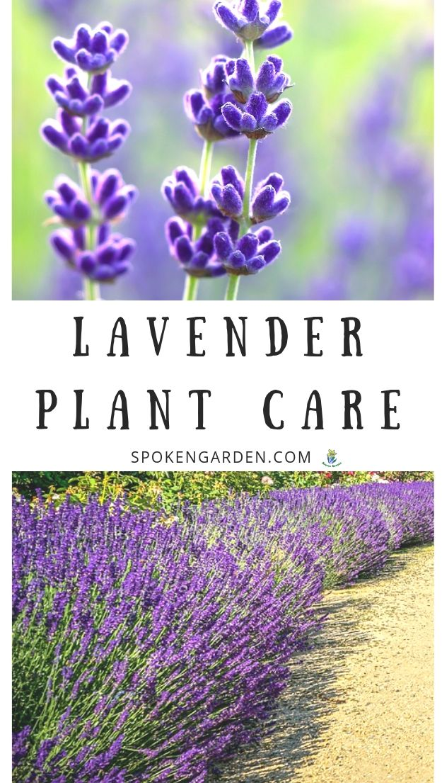 Lavender care advertisement with text overlay