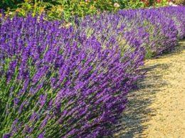 Lavender Care: A Mini-Plant Profile – DIY Garden Minute Ep. 103