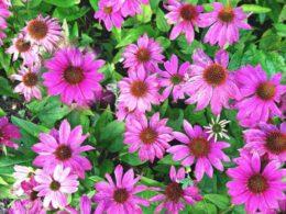 Longest-Blooming Perennials For Your Summer Garden – DIY Garden Minute Ep. 99