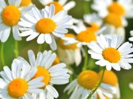 What to Plant with Shasta Daisies – 8 Perfect Companion Plants for Your Garden