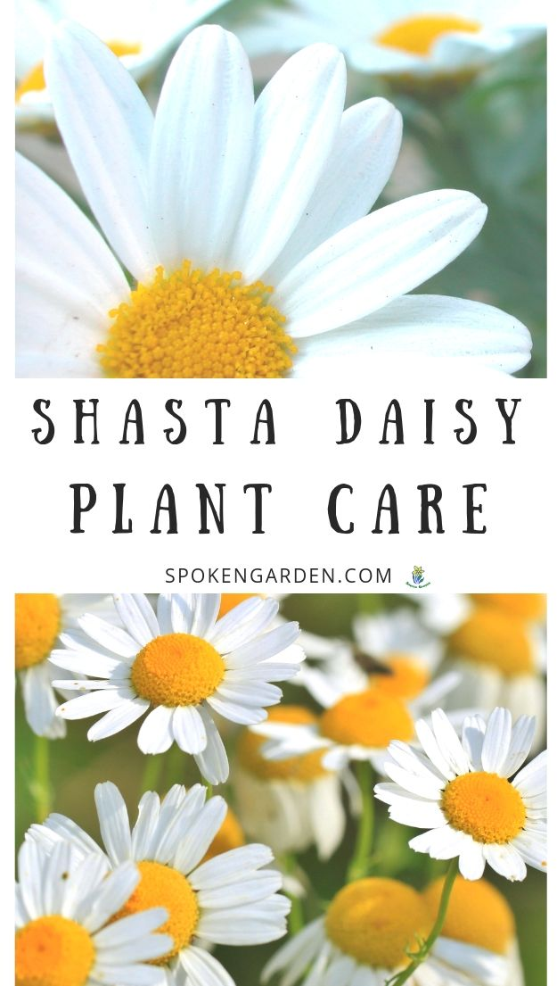 Shasta daisy care advertisement with text overlay