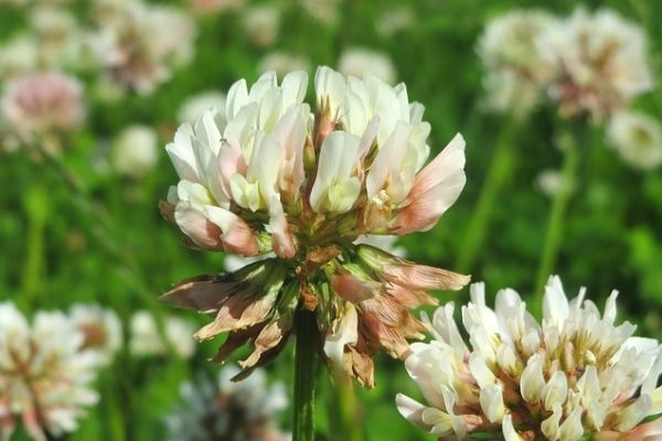 Microclover for lawns