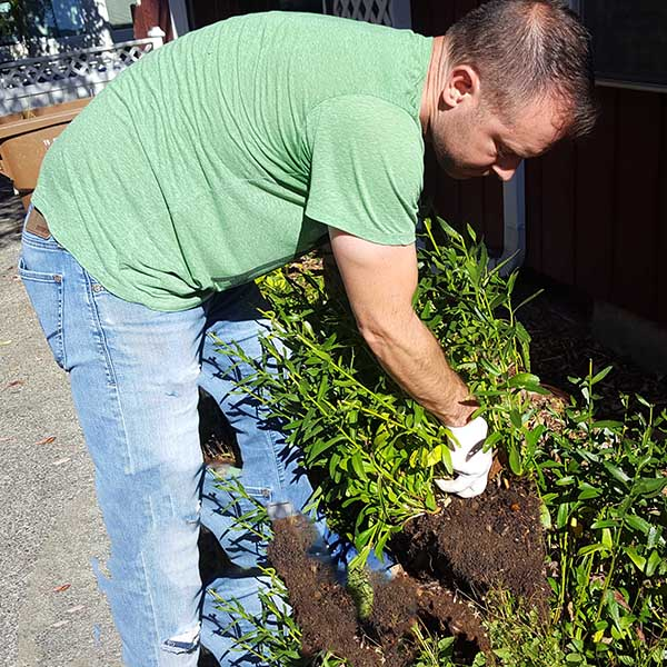 Man picking up plant from ground to be planted in new garden bed location.