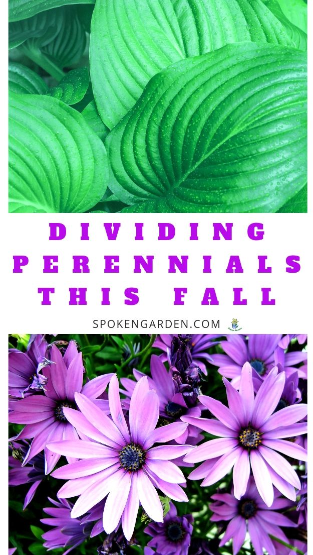 Dividing perennials plants with text overlay