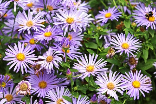 Asters are perennials that can be divided