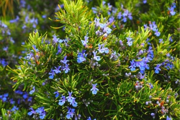 Rosemary is a drought-tolerant plant