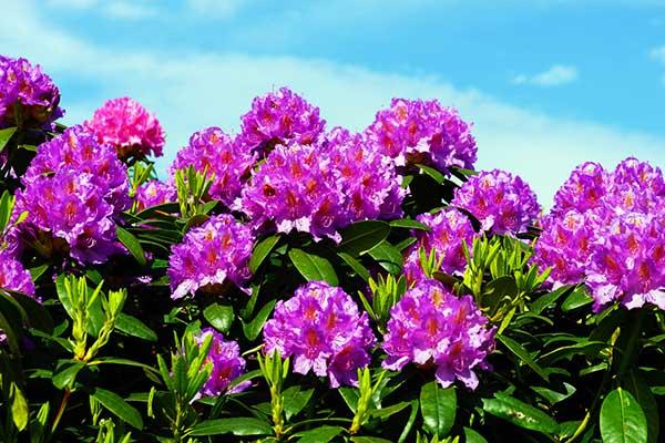 Purple Rhododendron, a drought-tolerant plant