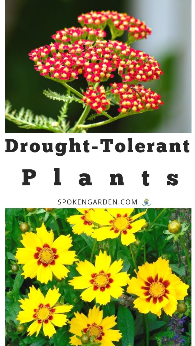 drought-tolerance perennials with text overlay