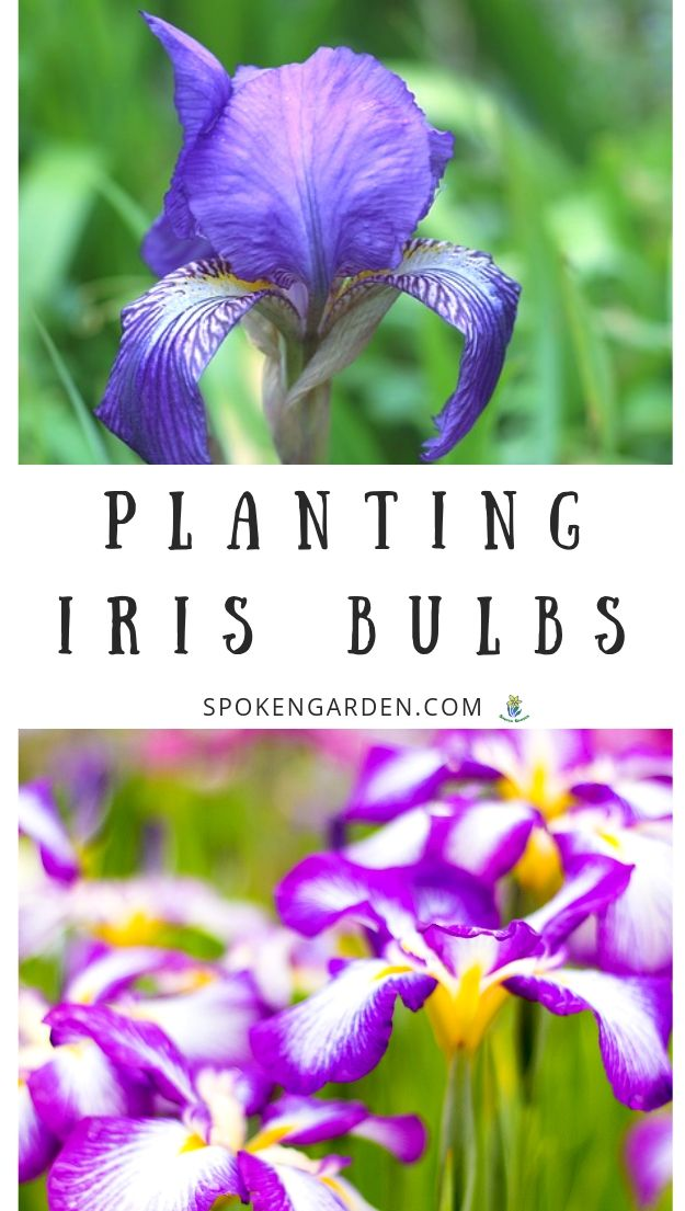 Planting Iris bulbs with text overlay