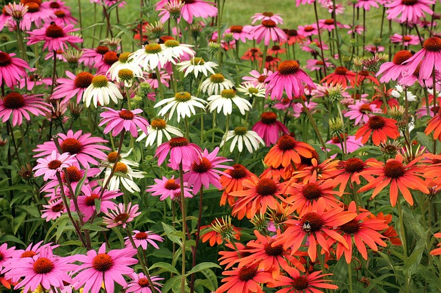 coneflowers in pink, orange, and white colors