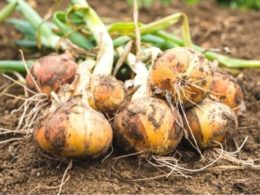 Different Perennial Bulb Uses – DIY Garden Minute Ep. 110