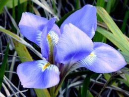 Types of Iris – DIY Garden Minute Ep. 109