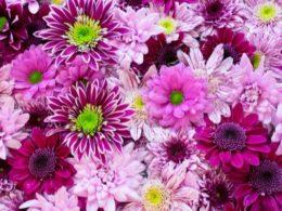 Chrysanthemum Care: A Mini Plant Profile – DIY Garden Minute Ep. 114