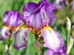Iris (Iridaceae): A Gardener's Guide and Plant Profile