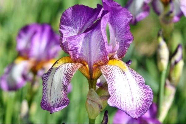 Iris plant care