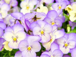 Winter Pansies: A Gardener's Guide and Plant Profile