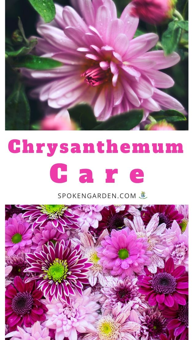 Caring for Chrysanthemums