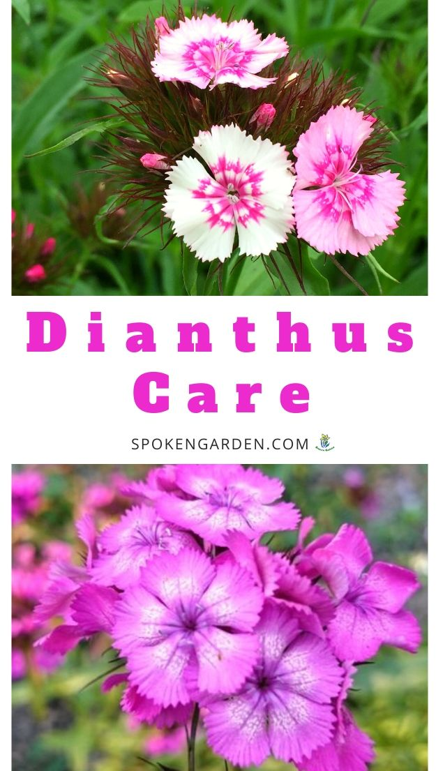 Caring for Dianthus plants