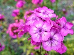Dianthus Care: A Mini Plant Profile – DIY Garden Minute Ep. 115